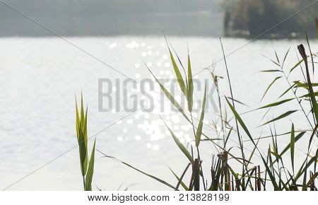 nature lake river bulrush reed green leaves with bokeh lights from water
