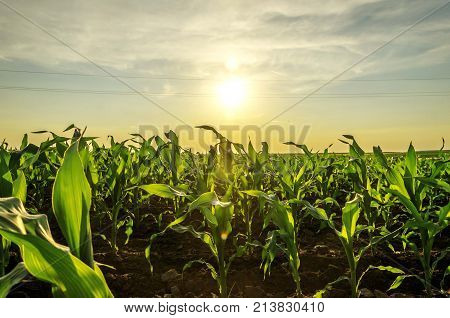 agriculture maize corn plant seedlings. corn fields