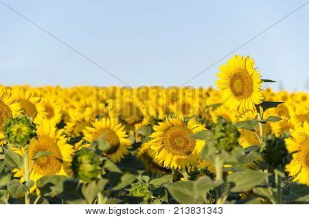 agriculture sunflowers seedlings. nature agricultural plants fields