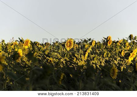 agriculture plants of sunflower. agricultural sun flowers seedlings