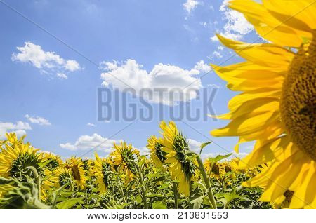 nature agricultural sunflowers seedlings. nature sun flower seeds. agro plants