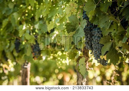 Highly detailed image of grape bunch very shallow focus