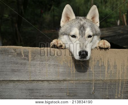 Zoo shelter farm or captivity. Pet and animal Siberian husky dog year. Husky or wolf at wooden background copy space. Year of dog holiday celebration. New year christmas xmas.