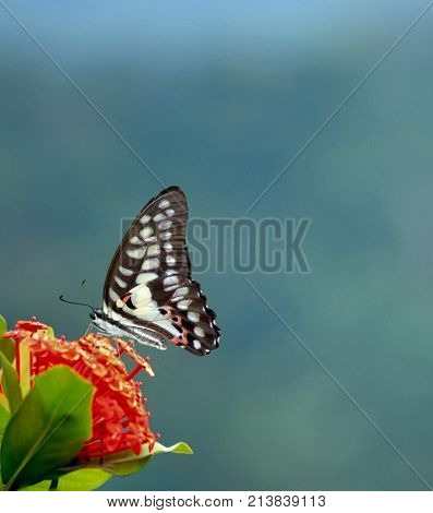 Black and white butterfly. Isolated butterfly. Butterfly perched over a red flower.