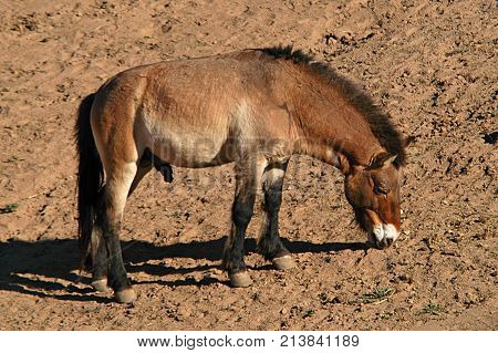 Burro at rummaging on ground for food San Diego CA