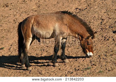 Burro rummaging in the ground for food