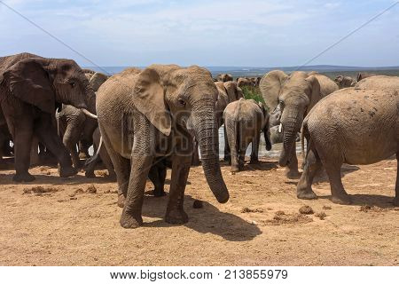 A Young Elephant Looking At The Camera In The Background Herds Of Elephants