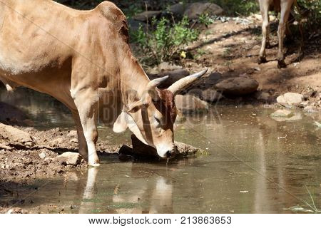 Cow At A Water Hole In Africa.