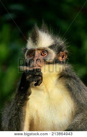 Portrait Of Thomas Leaf Monkey In Gunung Leuser National Park, Bukit Lawang, Sumatra, Indonesia