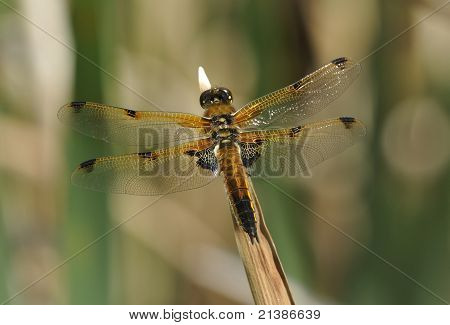Four spotted Chaser Dragonfly - Libellula quadrimaculata poster