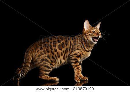 Bengal Cat Isolated On Black Background