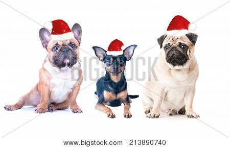 Three dogs in New Year's caps on a white background isolated. French Bulldog Pug and Toy Terrier . Theme of Christmas new year postcard poster. Year of the dog