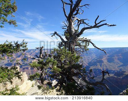 Gnarled pine at the Grand Canyon, South Rim, Arizona, USA