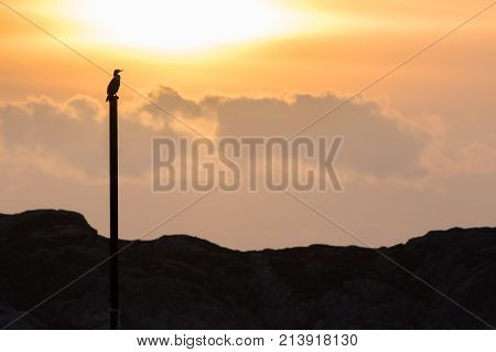 Cormorant Phalacrocorax Carbo Silhouette In Golden Evening Light