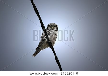 Northern Hawk-owl Surnia ulula sits on power line and watches for pray.