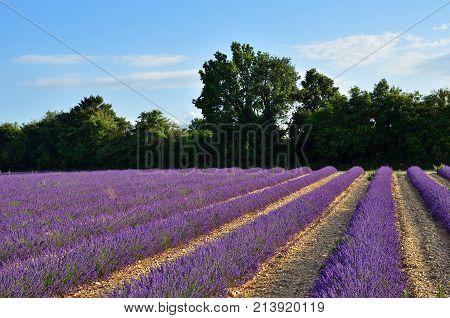 Provence Lavender Fields, France
