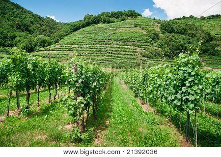 Vineyard and Hills in Wachau, Lower Austria poster