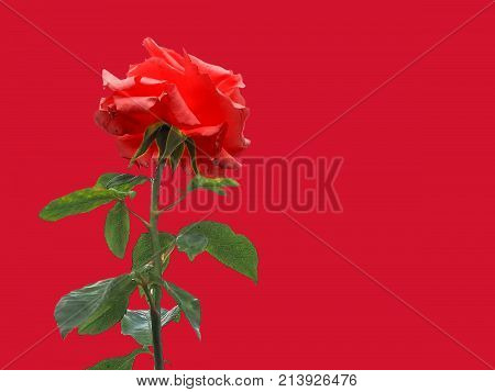 Red Rose Flower Over Red With Copy Space