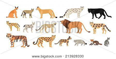 Collection of different wild and domestic cats. Exotic animals of Felidae family isolated on white background. Bundle of cute cartoon characters. Flat colorful zoological vector illustration