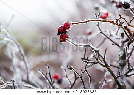 Icy grass and berry in winter, stems of dry grass covered with ice crust
