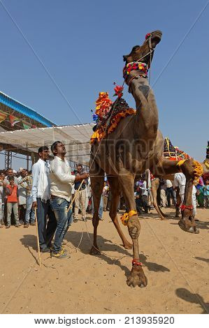 Pushkar, India, October 29, 2017 : Dancing Camels. Pushkar Camel Fair Is One Of The Largest Cattle F