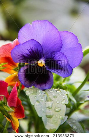 A flower of a pansy (a three-color violet) growing in the garden. The photo was taken immediately after the rain - on the green leaves of the drop. The petals of the flower are yellow, blue, dark and purple.