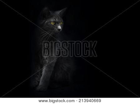 Black cat with yellow eyes is looking out of the shadow. Cat mysterious portrait. Black background. Shadow dark black kitten yellow eyes. Shadow and light cat. Yellow eye cat Black and white