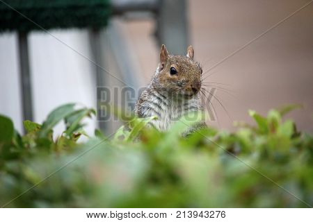Grey Squirrel Looking Over A Hedge