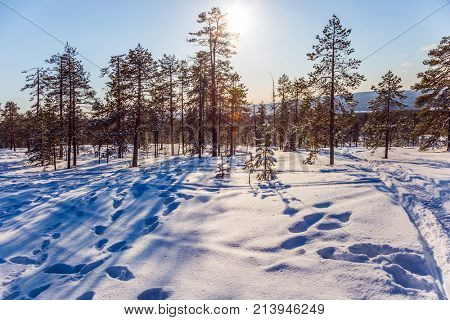 The polar circle. New Year's sunny winter day in the forest. Sparse coniferous forest in the snow. In the lush snow ski trails