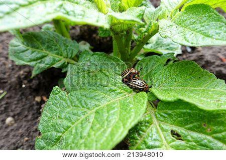 Colorado beetles sit on potato bushes in summer