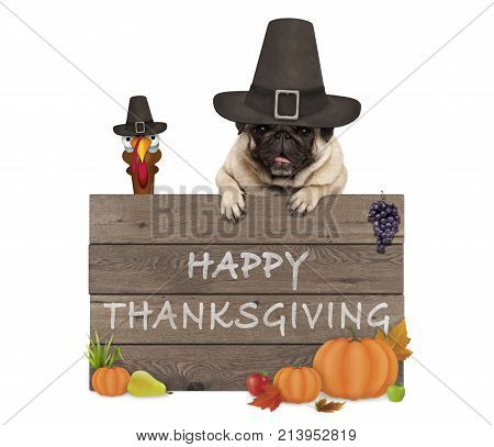 funny turkey and pug dog wearing pilgrim hat for Thanksgiving day and wooden sign with text happy thanksgiving isolated on white background