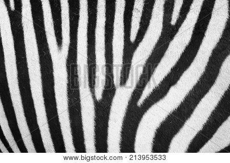 Zebra Animal Skin Texture