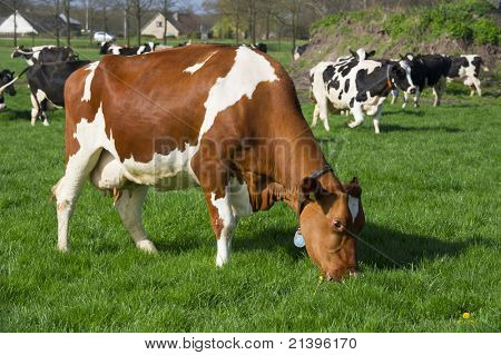 Dutch brown and black with white cows in landscape