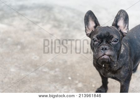 The French Bulldog Is Sitting On The Floor, Close Up Portrait Of A French Bulldog