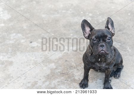 The french bulldog is sitting on the floor Close up portrait of a French Bulldog