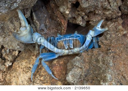 Blue Crab In Defensive Stance
