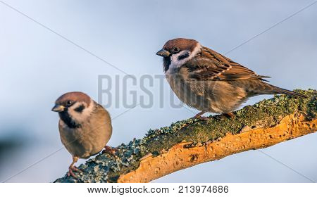 Single Male And Female Sparrows Perched On Dry Twig