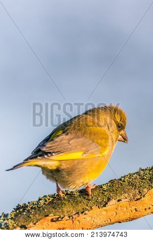 Single Male Greenfinch On Dry Twig