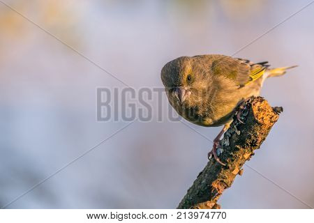 Single Male Greenfinch With Dirty Beak Jumps Of Dry Twig