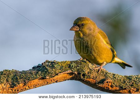Single Male Greenfinch With Dirty Beak Perched On Dry Twig