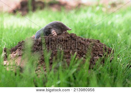Mole out of molehill in a grass