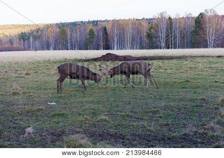 Two deer Bucks Fighting in a Field. Visim, Ural, Russia