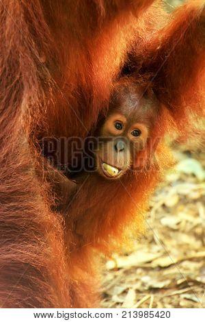Close-up Of Baby Sumatran Orangutan Sitting On Its Mother, Gunung Leuser National Park, Sumatra, Ind
