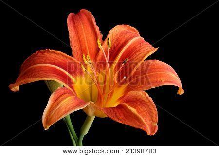 Orange Daylily, Hemerocallis Fulva, Isolated