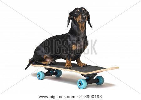 dog breed Dachshund black and tan sits on skateboard isolated on white background. Skateboarding dog.