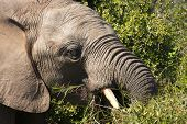 male elephant bull eating some green leaves poster