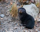 This cute fur seal pup waits patiently for its mother in Fortuna Bay South Georgia Island poster