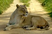 A big full body of a wild African lioness resting and watching other wildlife by lying on the road of a game park in South Africa poster
