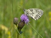 a marbled white butterfly melanargia galathea feeding on a creeping thistle flower poster