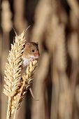 A harvest mouse clambering through a wheat field before harvest time poster